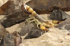 Scorpione dell'inseguitore di morte - quinquestriatus di Lieurus Fotografia Stock Libera da Diritti