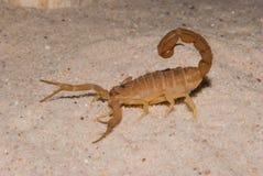 Scorpione di Brown fotografia stock