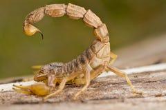 Scorpione di Buthus fotografia stock