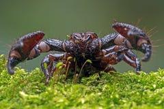 Scorpione di eror di Emp (imperator di pandinus) Fotografia Stock Libera da Diritti