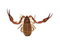 Scorpione di libro Fotografia Stock