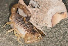 Scorpione giallo su una sabbia Fotografie Stock Libere da Diritti