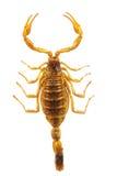 Scorpione - Hottentotta su fondo bianco Fotografia Stock Libera da Diritti