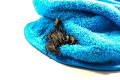Scorpione, il pericolo di nascondersi immagini stock libere da diritti