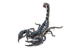 Scorpione isolato su priorità bassa bianca Fotografie Stock