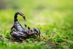 Scorpione in natura Immagine Stock