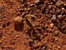Scorpione nel deserto immagine stock