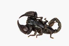Scorpione nero Immagini Stock