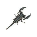 Scorpione posteriore Fotografia Stock