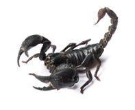 Scorpione su fondo bianco immagini stock libere da diritti