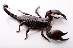 Scorpione sui precedenti bianchi fotografia stock libera da diritti