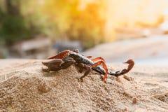 Scorpione sulla sabbia Fotografia Stock Libera da Diritti