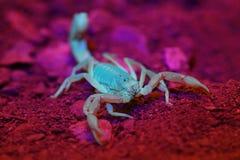 Scorpione a terra giallo (confusus di Vaejovis) nell'ambito di luce ultravioletta Immagine Stock Libera da Diritti