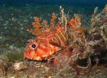 Scorpionfish карлика стоковое изображение rf
