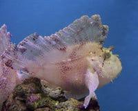 scorpionfish листьев Стоковые Изображения