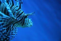 scorpionfish льва рыб dragonfish Стоковые Фотографии RF
