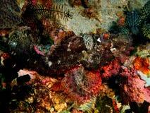 Scorpionfish Royaltyfria Foton