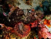 Scorpionfish Arkivfoto