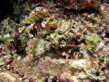 Scorpionfish Stockbilder
