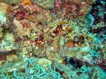 Scorpionfish Lizenzfreie Stockfotos