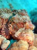 scorpionfish Стоковые Фото
