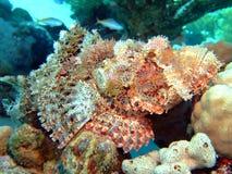 Scorpionfish royalty free stock photos