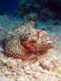 Scorpionfish royalty free stock photography