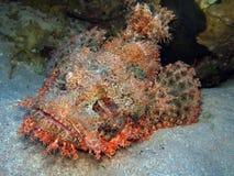 Free Scorpionfish Stock Images - 11003144