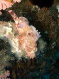 Scorpionfish Stock Afbeeldingen