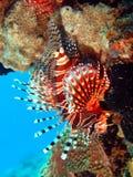 Scorpionfish Royalty-vrije Stock Afbeelding