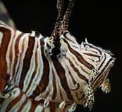 Scorpionfish Zdjęcia Royalty Free