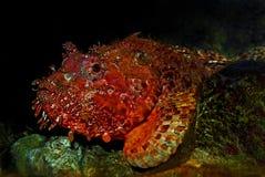 Free Scorpionfish Stock Photography - 33373232