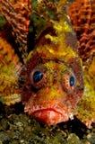 Scorpionfish Royalty-vrije Stock Foto's