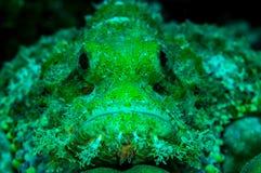 Scorpionfish Стоковое Изображение RF