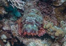 Scorpionfish Royalty-vrije Stock Foto
