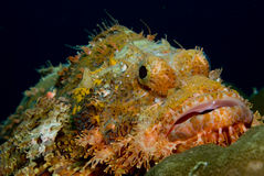 Scorpionfish. These type of fish are common around the reefs in Thailand Stock Photography