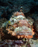 Scorpionfish. On the bottom underwater Royalty Free Stock Images