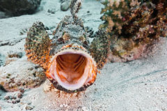 Free Scorpionfish Royalty Free Stock Photo - 66724025