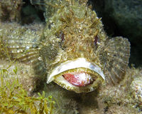 Scorpionfish. A black scorpionfish while eating a mullet Royalty Free Stock Photos