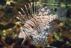 Scorpionfish стоковое изображение