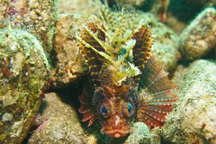 Scorpionfish. Brown Scorpionfish under the sea Stock Image