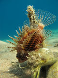 Scorpionfish in clear blue water. Small scorpionfish hanging above the sea bottom in clear blue water Royalty Free Stock Photography