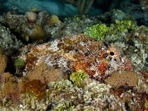 Scorpionfish on Coral. Red, orange, green algae Royalty Free Stock Photography
