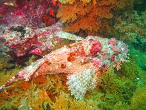 Scorpionfish on a coral reef in the caribbean sea ecuador. Scorpionfish on a coral reef in the caribbean sea galapagos islands ecuador Royalty Free Stock Image