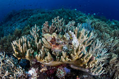 Scorpionfish and Coral Reef Stock Image