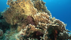 Scorpionfish in corals on background underwater landscape in Red sea. stock footage