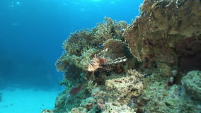 Scorpionfish in corals on background underwater landscape in Red sea. Swimming in world of colorful beautiful world of reefs and algae. Inhabitants in search stock footage