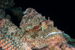 Scorpionfish czarny tło Zdjęcie Stock