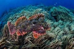 Scorpionfish die over Coral Reef zwemmen Stock Foto's