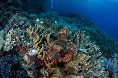 Scorpionfish en Coral Reef in Raja Ampat Royalty-vrije Stock Foto